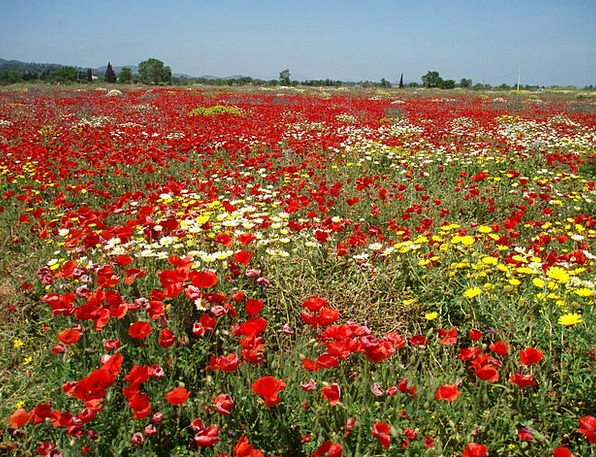 Field Of Poppies Landscapes Nature Landscape Scene