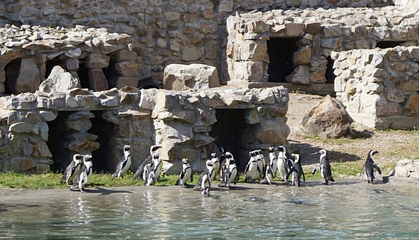 Penguins Stage Zoo Menagerie Catwalk Animals Fauna