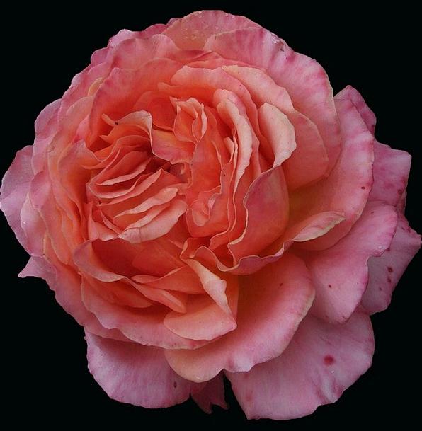Rose Design Floret Orange Rose Flower Free Rose Do