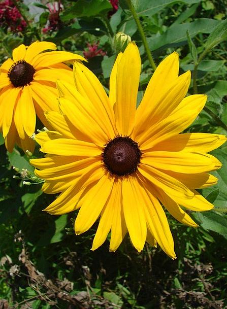 Flower Floret Landscapes Nature Rudbeckia Black-Ey