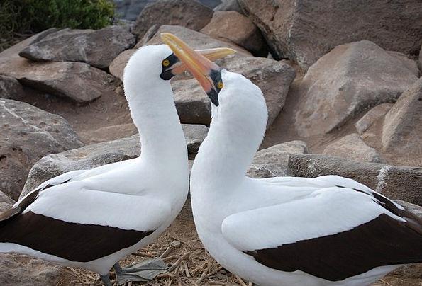 Nazca Boobie Fowl Mating Ritual Bird Entwined Tang