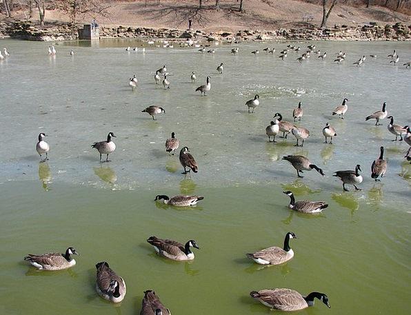 Geese Gander Look Goose Bird Frozen Fowl Canada Wa