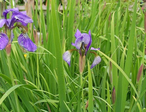 Lily Landscapes Floret Nature Plant Vegetable Flow