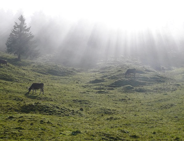 Alm Landscapes Nature Cow Intimidate Alpe Fog Idyl