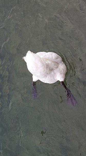 Swan Wander Aquatic Bird Fowl Water Nature Country