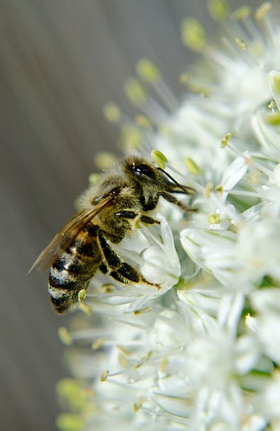 Honey Bee Bugs Onion Blossom Insects Macro Instruc
