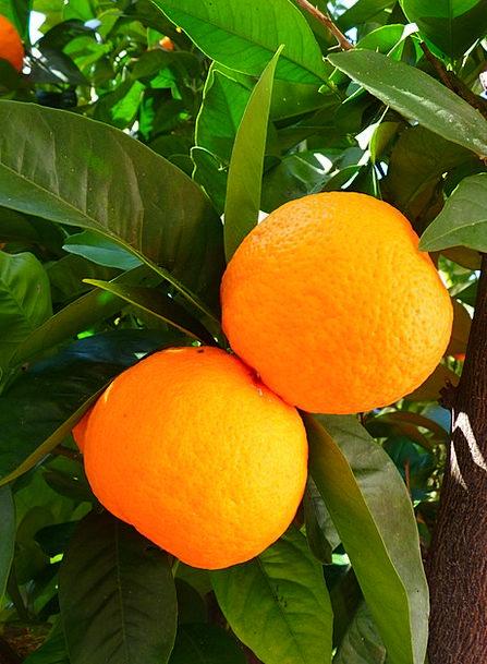 Oranges Sapling Leaves Greeneries Tree Green Lime