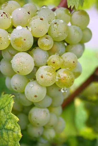 Grapes Landscapes Lime Nature Nature Countryside G
