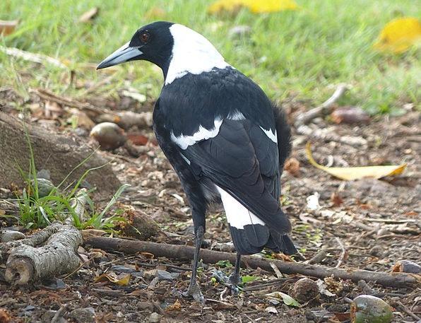 Magpie Chatterer Fowl Black Dark Bird White Snowy