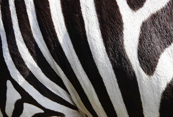 Animals Faunae Zebra Crossing Zebra Stripes Strips
