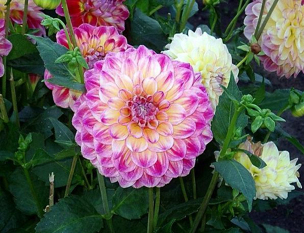 Dahlia Floret Pink Flushed Flower