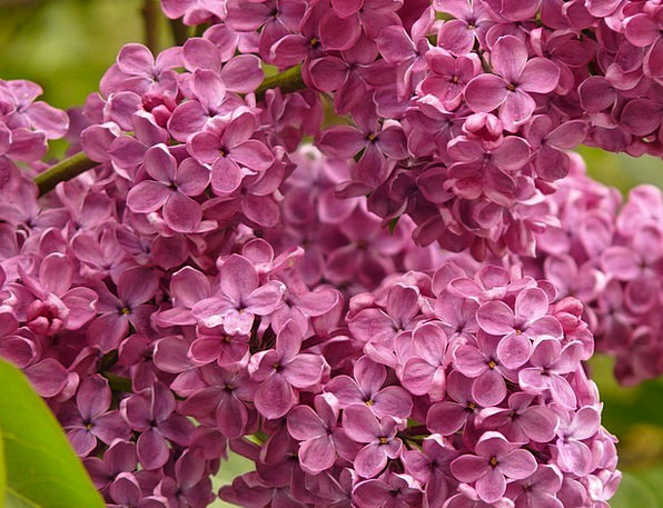 Lilac Mauve Landscapes Nature Ornamental Shrub Com