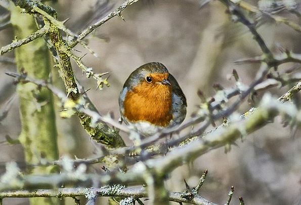 Robin Fowl Red Robin Bird Animal Physical Feathere
