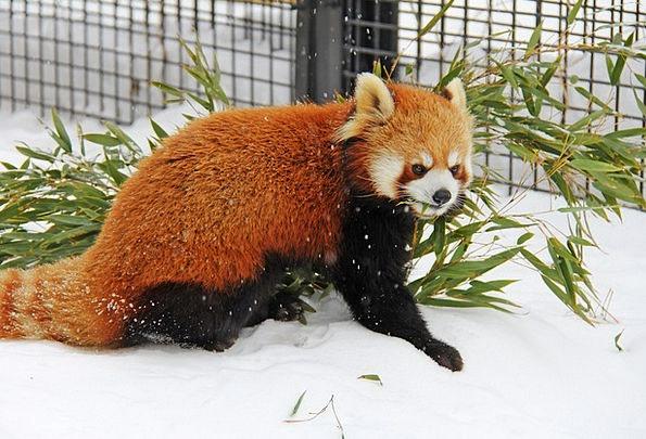 Red Panda Tolerate Panda Bear Japan Cute Attractiv