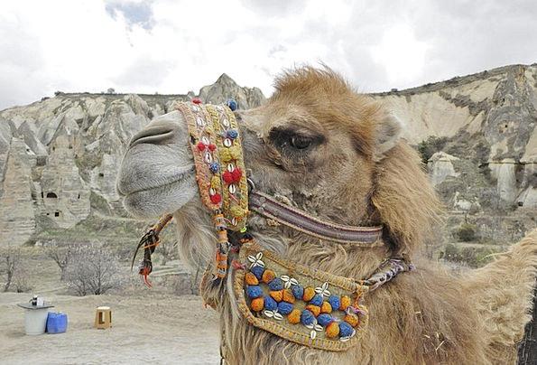 Camel Beige Camels Turkey Animal Physical Dromedar
