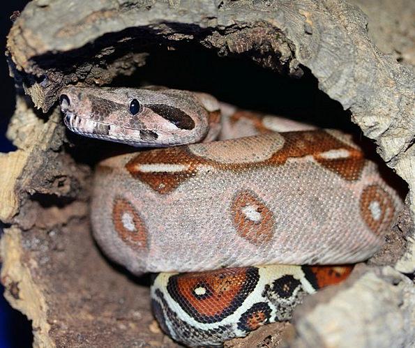 Emperor Snake Snake Serpent Boa Terrarium Boa Cons