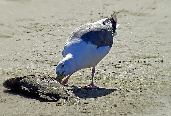 Seagull Fowl Feathered Bird Dead Fish Picking Anim
