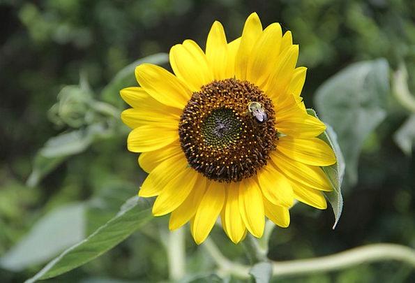 Sunflower Landscapes Floret Nature Yellow Creamy F