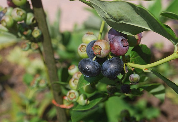 Blueberry Drink Ovary Food Bush Scrubland Fruit St