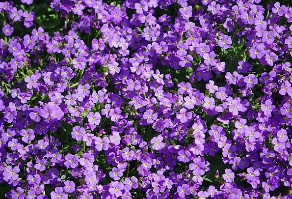 Blue Pillow Plants Violet Mauve Flowers Spring Aub