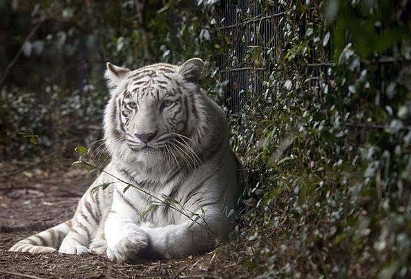 Tiger Zoo Menagerie White Tiger Carnivore Cat Feli