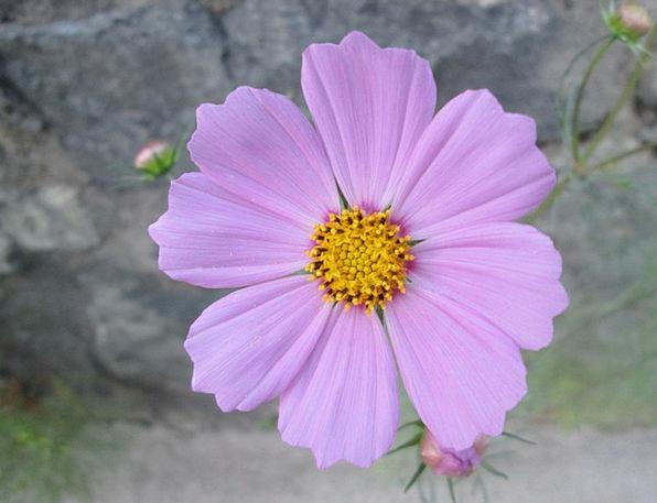 Cosmos Universe Plot Flower Floret Garden Purple E