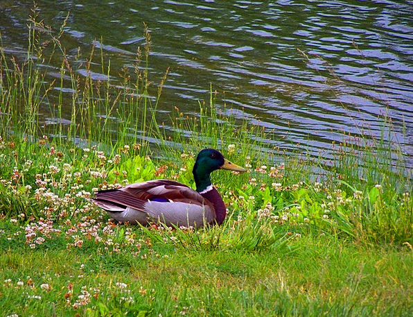 Mallard Stoop Male Masculine Duck Lake Bird Fowl W