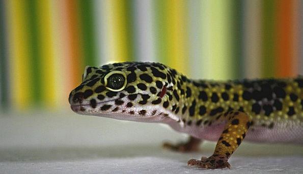 Leopard Gecko Lizard Gecko Pet Domesticated Terrar