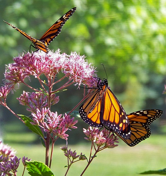 Butterfly Ruler Insect Bug Monarch Ecology Wing An