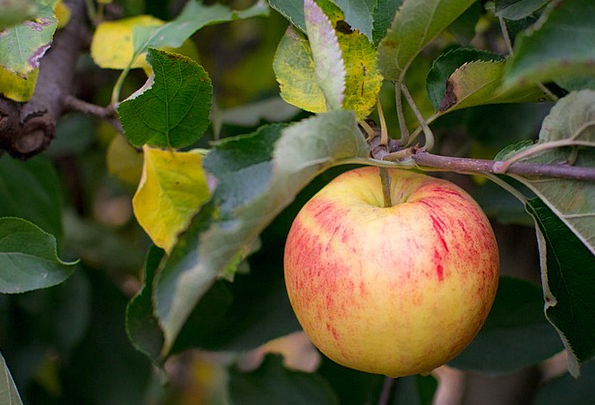 Apple Drink Farmhouse Food Pick Choice Farm Tree F