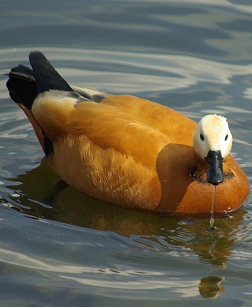 Bird Fowl Stoop Water Aquatic Duck Beautiful Lovel