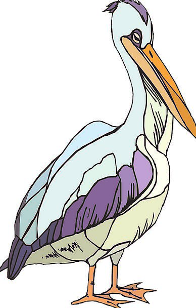 Pelican Pelecanus Erythrorhynchos Seabird Pelecani