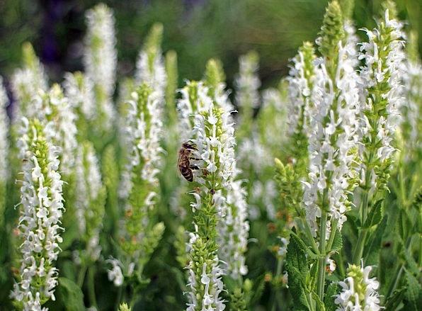 Sage Wise Snowy Garden Sage White Garden Spice Pla