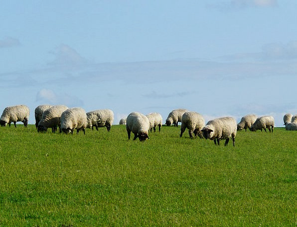Flock Of Sheep Landscapes Ewe Nature Rhön Sheep Sh