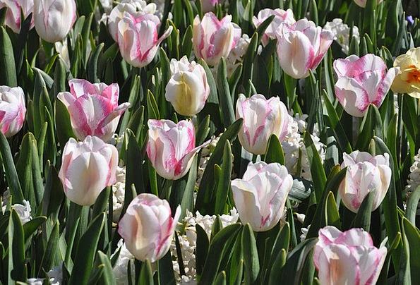 Tulip Floret Field Arena Flower Floriade Color Hue