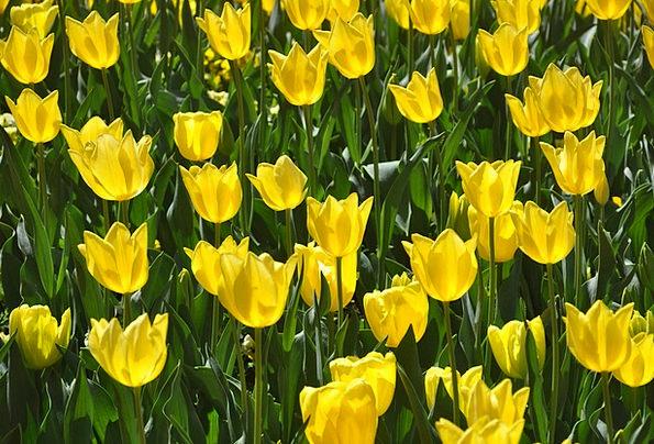 Tulips Creamy Bloom Yellow Flower Floret Floriade