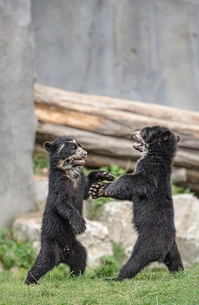 Bear Tolerate Landscapes Nature Bear Children Brow