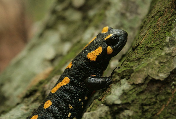Fire Salamander Amphibian Salamander Yellow Animal