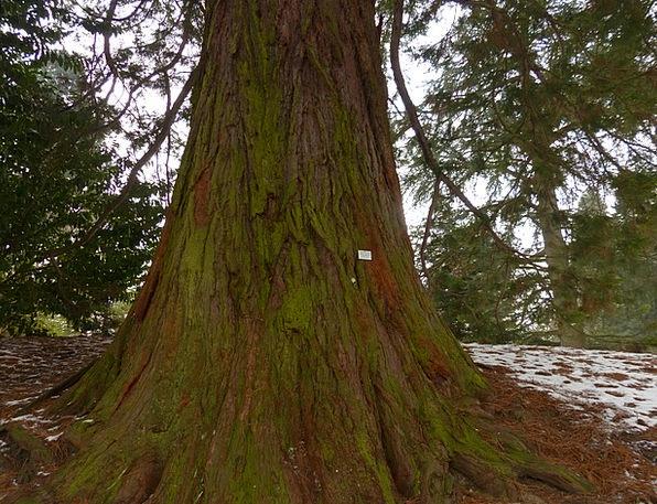 Mountain Redwood Sequoiadendron Giganteum Giant Re