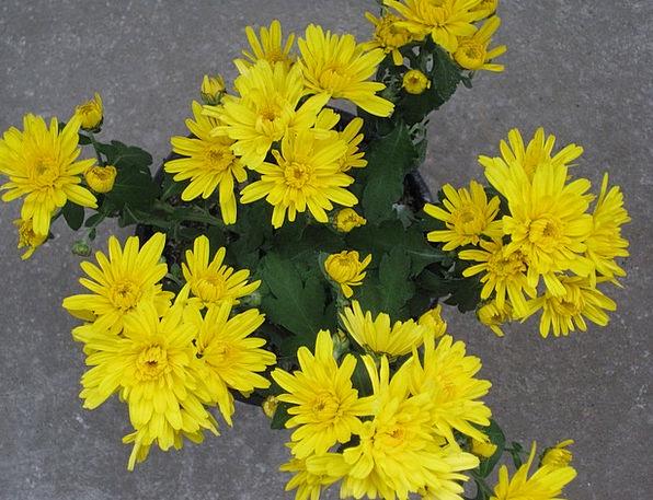 Garden Chrysantheme Landscapes Nature Chrysanthemu
