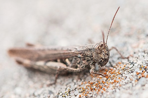 Grasshopper Physical Insect Bug Animal Grey Old Br