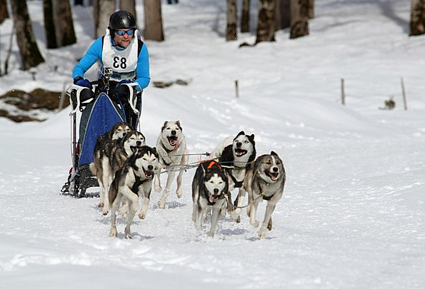 Sled Dog Racing Competition Rivalry Musher White W