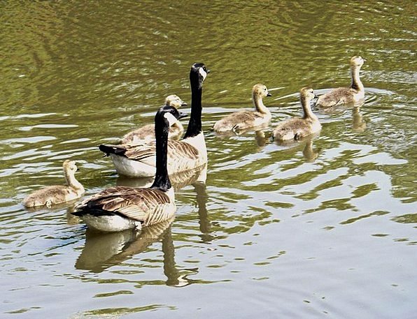 Geese Landscapes New Nature Cute Attractive Young