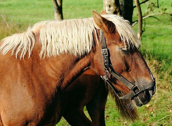 Horse Mount Mane Shock Kaltblut Halter Bridle Stro