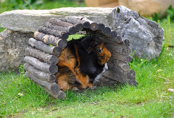 Guinea Pig Domesticated Nager Pet Rodent Hiding Pl