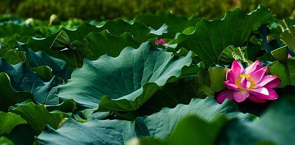 Lotus Landscapes Floret Nature Plant Vegetable Flo