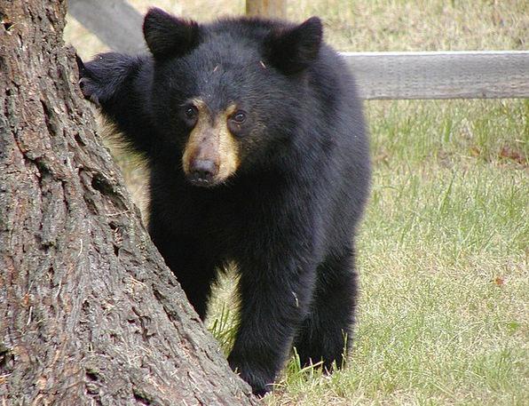 Bear Tolerate Novice Animal Physical Cub Wild Life