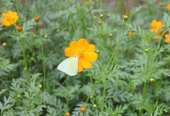 Flower Floret Creamy Butterfly Yellow Blossom Oran