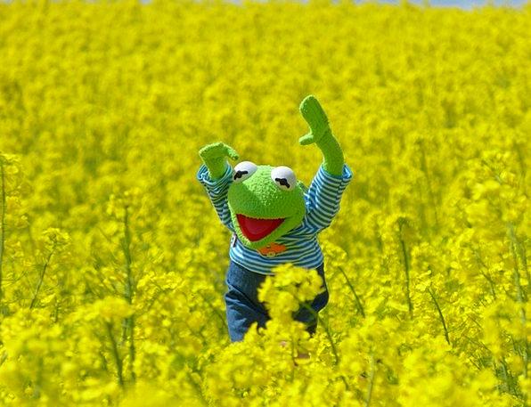 Oilseed Rape Landscapes Nature Frog Field Of Rapes