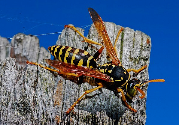 Wasp Instruction Insect Bug Macro Nature Countrysi